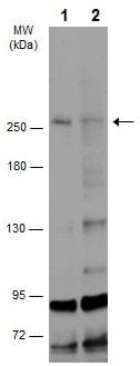 Western blot - Anti-DSCAML1 antibody (ab227857)