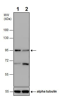 Western blot - Anti-VPS34 antibody - N-terminal (ab227861)