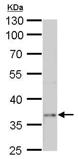 Western blot - Anti-PTF1A antibody - C-terminal (ab227864)