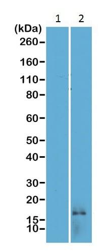 Western blot - Anti-Histone H3 (di methyl K14) antibody [RM165] (ab227874)