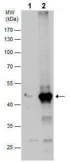 Western blot - Anti-WIPI1 antibody - C-terminal (ab227880)