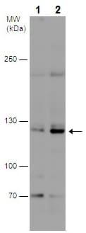Western blot - Anti-REST / NRSF antibody - C-terminal (ab227885)