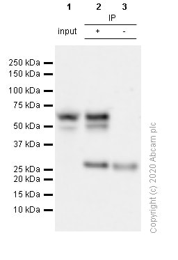 Immunoprecipitation - Anti-FOXG1 antibody [EPR18987] - BSA and Azide free (ab227888)