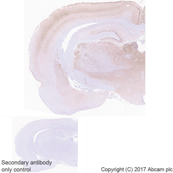 Immunohistochemistry (Formalin/PFA-fixed paraffin-embedded sections) - Anti-VGLUT2 antibody [EPR21085] - BSA and Azide free (ab227906)