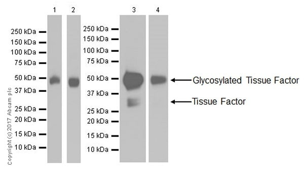Western blot - Anti-Tissue Factor antibody [EPR18160-175] - BSA and Azide free (ab227910)