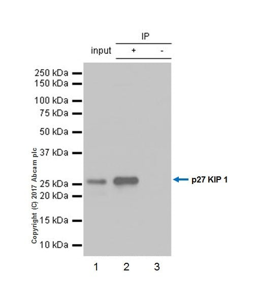 Immunoprecipitation - Anti-p27 KIP 1 antibody [EPR18388-138] - BSA and Azide free (ab227911)