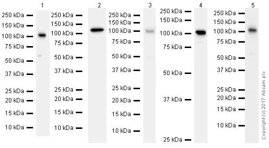 Western blot - Anti-MSH2 antibody [EPR21017-123] (ab227941)