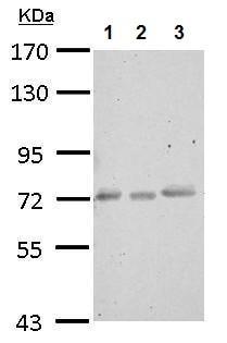 Western blot - Anti-CEECAM1 antibody (ab227943)