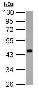 Western blot - Anti-APOBEC3F antibody (ab227962)