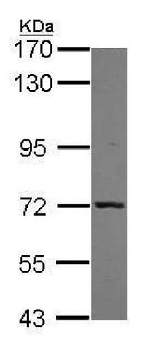 Western blot - Anti-Munc18-1 antibody (ab227971)
