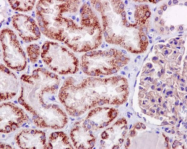 Immunohistochemistry (Formalin/PFA-fixed paraffin-embedded sections) - Anti-TNFAIP3 antibody [EPR2663] - BSA and Azide free (ab227987)