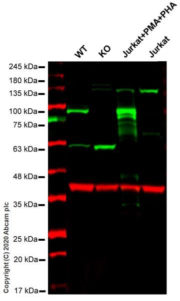 Western blot - Anti-TNFAIP3 antibody [EPR2663] - BSA and Azide free (ab227987)