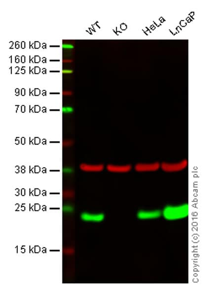 Western blot - Anti-Peroxiredoxin 2/PRP antibody [EPR5154] - BSA and Azide free (ab227988)