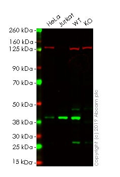 Western blot - Anti-p38 antibody [Y122] - BSA and Azide free (ab227995)