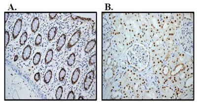 Immunohistochemistry (Formalin/PFA-fixed paraffin-embedded sections) - Anti-HNF-4-alpha antibody [EPR3648] - BSA and Azide free (ab227997)