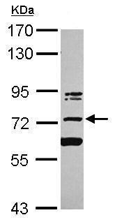 Western blot - Anti-KIAA0020 antibody (ab228003)