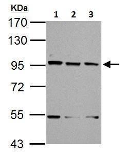 Western blot - Anti-XAB2 antibody - N-terminal (ab228006)