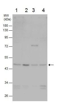Western blot - Anti-TSG101 antibody (ab228013)