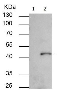 Immunoprecipitation - Anti-SMYD3 antibody (ab228015)
