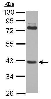 Western blot - Anti-SMYD3 antibody (ab228015)