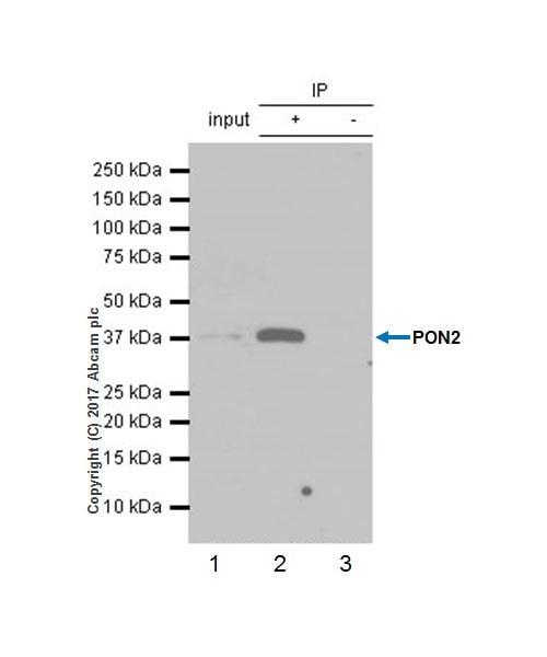 Immunoprecipitation - Anti-PON2 antibody [EPR18547-2] - BSA and Azide free (ab228134)