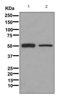 Western blot - Anti-GLUD1 + GLUD2 antibody [EPR11370] - BSA and Azide free (ab228340)