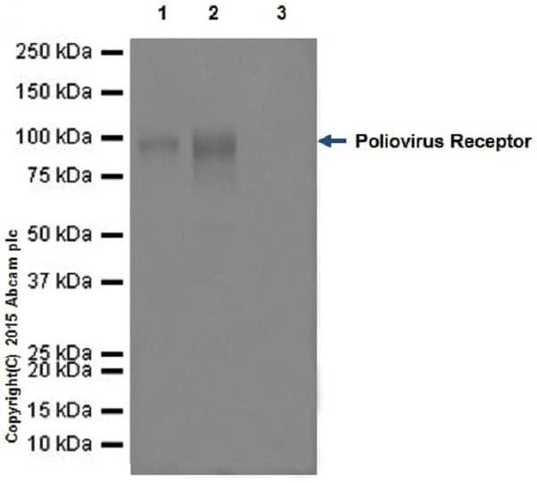 Immunoprecipitation - Anti-Poliovirus Receptor/PVR antibody [EPR17302] - BSA and Azide free (ab228348)