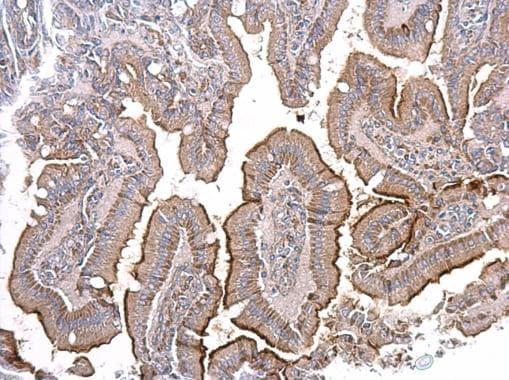 Immunohistochemistry (Formalin/PFA-fixed paraffin-embedded sections) - Anti-ACE2 antibody - N-terminal (ab228349)