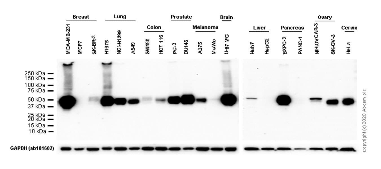 Western blot - Anti-PD-L1 antibody [73-10] (ab228415)
