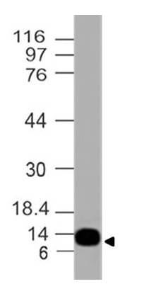 Western blot - Anti-S100A4 antibody [ABM48F7] (ab228445)