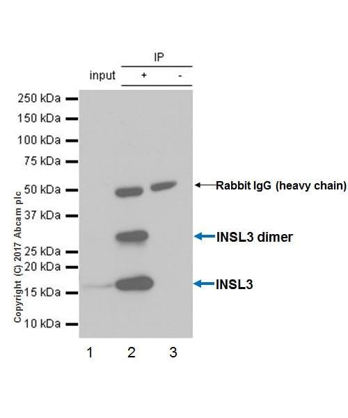 Immunoprecipitation - Anti-INSL3 antibody [EPR20747] - BSA and Azide free (ab228459)