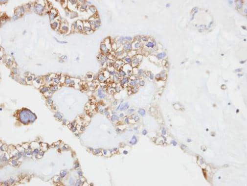 Immunohistochemistry (Formalin/PFA-fixed paraffin-embedded sections) - Anti-CD146 antibody - N-terminal (ab228487)