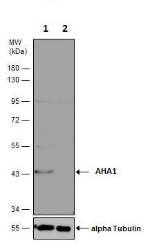 Western blot - Anti-AHA1 antibody (ab228492)