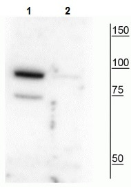 Western blot - Anti-Pantothenate kinase 4 (phospho S63) antibody (ab228514)
