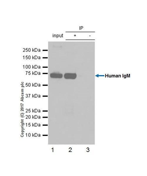 Immunoprecipitation - Anti-Human IgM antibody [EPR20731] - BSA and Azide free (ab228524)