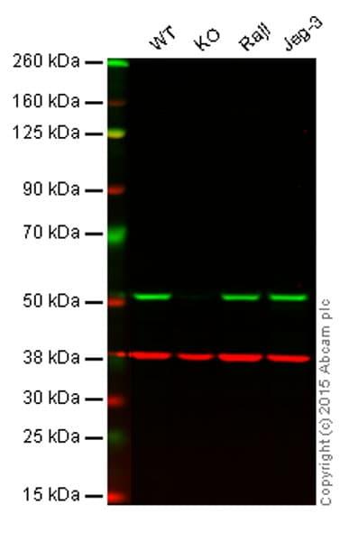 Anti-APG5L/ATG5 antibody [EPR1755(2)] (ab108327)