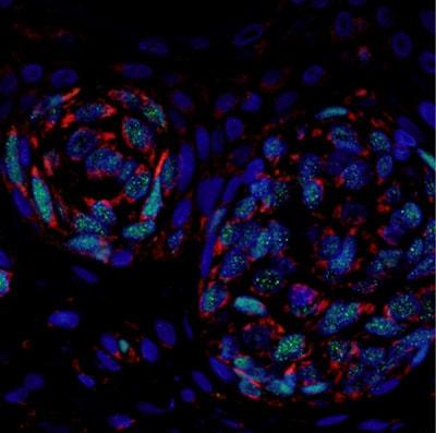 Anti-Bcl-XL antibody [E18]