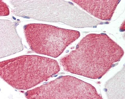 Immunohistochemistry (Formalin/PFA-fixed paraffin-embedded sections) - Anti-Tafazzin / TAZ antibody - C-terminal (ab228538)