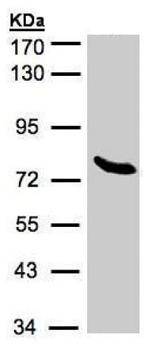 Western blot - Anti-ZNF45 antibody (ab228574)
