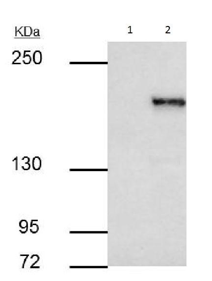 Immunoprecipitation - Anti-KMT1E / SETDB1 antibody (ab228575)