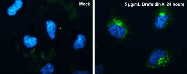Immunocytochemistry/ Immunofluorescence - Anti-CYR61/CCN1 antibody (ab228592)