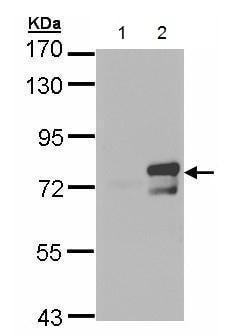 Western blot - Anti-BMAL1 antibody (ab228594)