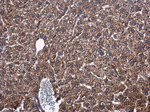 Immunohistochemistry (Formalin/PFA-fixed paraffin-embedded sections) - Anti-PON1 antibody (ab228597)