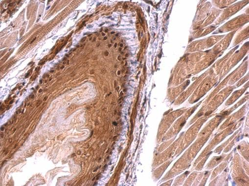 Immunohistochemistry (Formalin/PFA-fixed paraffin-embedded sections) - Anti-Monoacylglycerol Lipase/MGL antibody (ab228598)