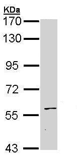 Western blot - Anti-Staufen/STAU1 antibody - C-terminal (ab228610)