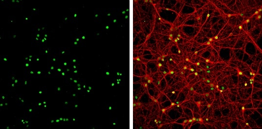 Immunocytochemistry/ Immunofluorescence - Anti-HMGB1 antibody - N-terminal (ab228624)