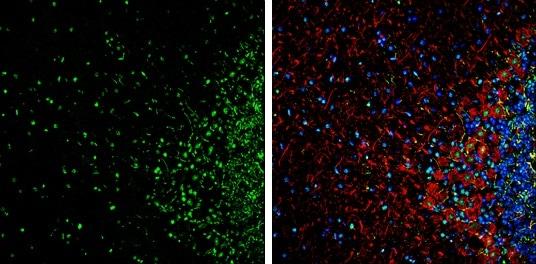 Immunohistochemistry (Frozen sections) - Anti-HMGB1 antibody - N-terminal (ab228624)