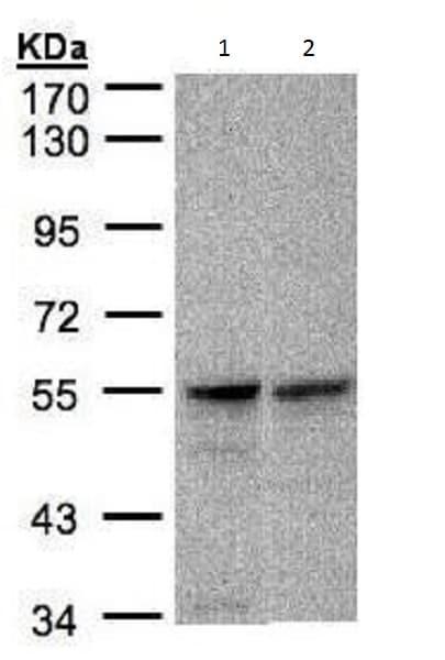 Western blot - Anti-FOXRED1 antibody (ab228628)