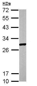 Western blot - Anti-ECHS1 antibody (ab228631)