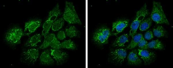 Immunocytochemistry/ Immunofluorescence - Anti-ECHS1 antibody (ab228631)